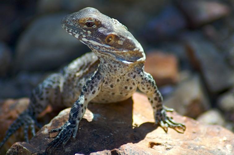 Spiny Desert Iguana