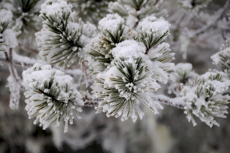 Frosty Needles