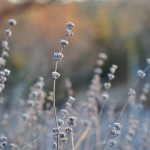 Lavender Stalks