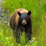 Grassy Bear