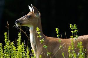 Auke Rec Deer