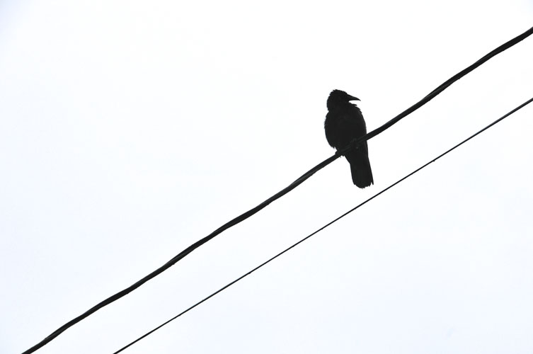 Raven on Wire