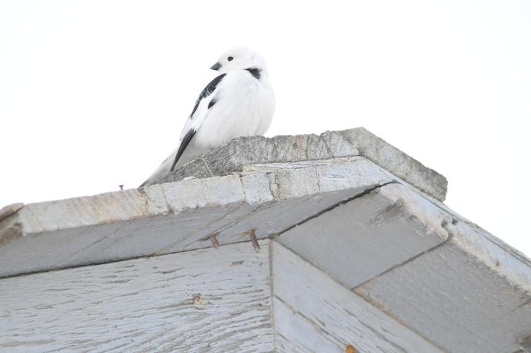Barrow Snow Bird