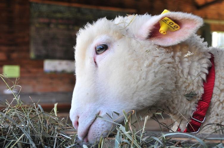 Lamb 007