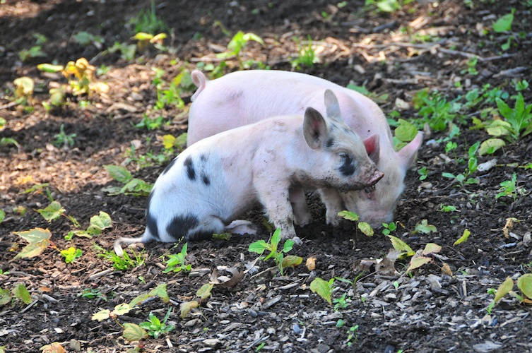 Playing Piglets