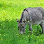 Donkey on Green