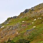 A Flock of Mountain Goats