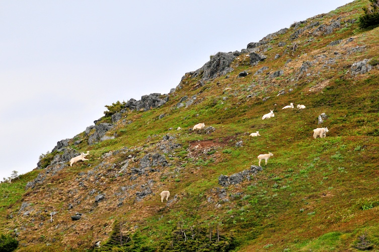 A Flock of Mountain Goats