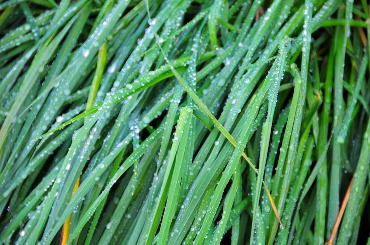 Grassy Rain